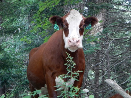 Stroudwater River cow.